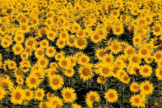 Stock Photo: 1792-112903 France, field of sunflower