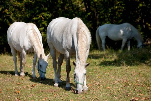 Slovenia, Kras region, Lipica, Lipizzans horses : Stock Photo