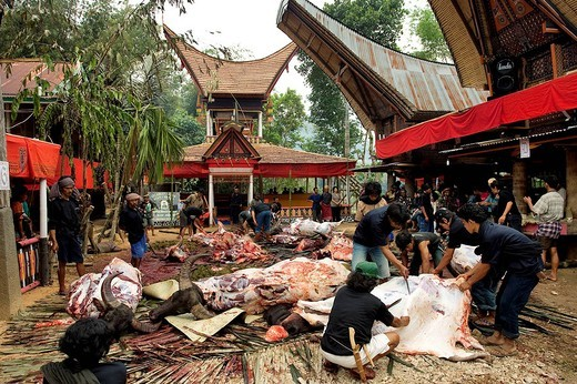 Indonesia, Sulawesi Celebes Island, Toraja land, after the buffalo sacrifice during funerals : Stock Photo