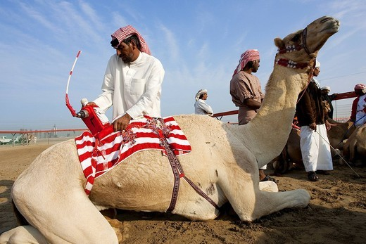 United Arab Emirates, Dubai, camel race, computers placed on the back of the camels have replaced jockeys : Stock Photo