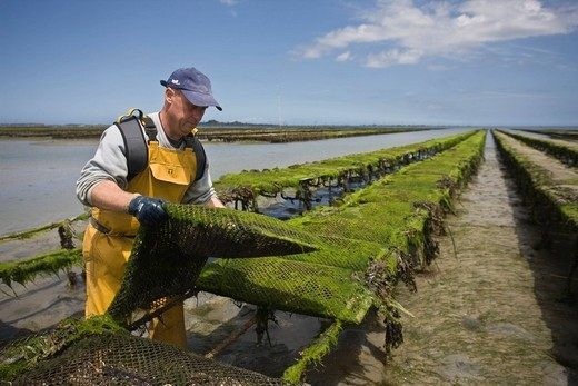 France, Cotes d´Armor, Paimpol, oyster farmer at work on the oyster beds, company Arin : Stock Photo