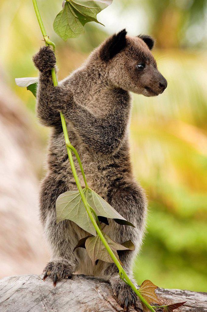 Stock Photo: 1792-119986 Papua New Guinea, East Sepik Province, region of Maprik, village of Kaminimbus, tree kangaroo cuscus