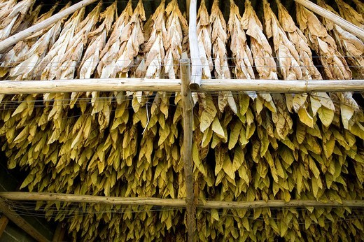France, Dordogne, Perigord Noir, tobacco leaves drying on a kiln : Stock Photo