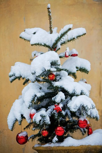 France, Vaucluse, Luberon, Cucuron, christmas tree under the snow : Stock Photo