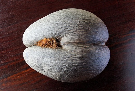 Seychelles, Mahe Island, the Sea Coconut also called double coconut or coco fesse Lodoicea maldivica with evocative form grows only in the Seychelles : Stock Photo