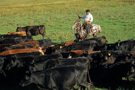 Argentina, Buenos Aires Province, San Antonio de Areco, Estancia El Ombu de Areco, gauchos getting together more than 500 cattle for vaccination : Stock Photo