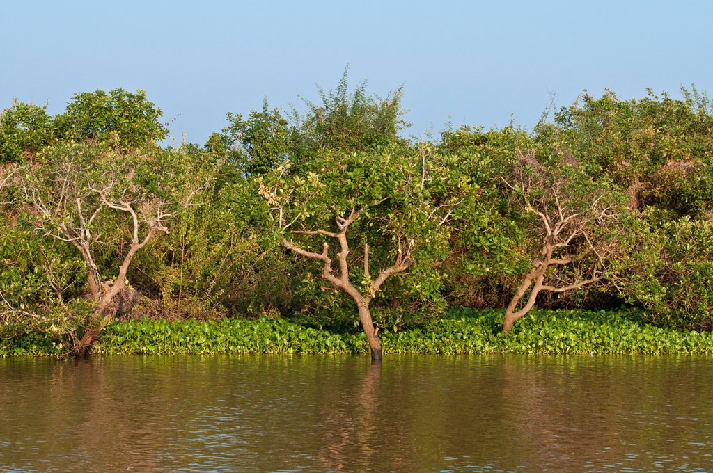 Cambodia, Siem Reap Province, Tonle Sap Lake, Biosphere Reserve by UNESCO, the flooded forest : Stock Photo