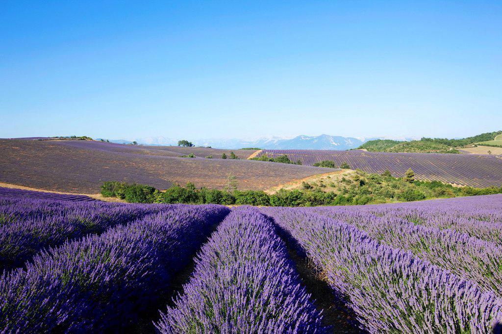 Stock Photo: 1792-125204 France, Alpes de Haute Provence, around Puimichel, lavender