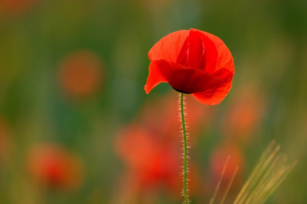 Spain, Estremadura, Caceres Province, Plasencia, corn poppy Papaver rhoeas : Stock Photo
