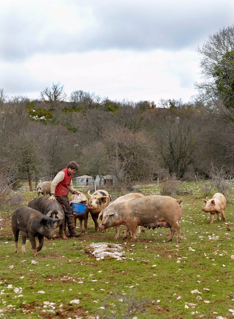 Stock Photo: 1792-131023 France, Larzac, Aveyron, feature: Epic Pork, Nicolas Brahic and his suckling pigs
