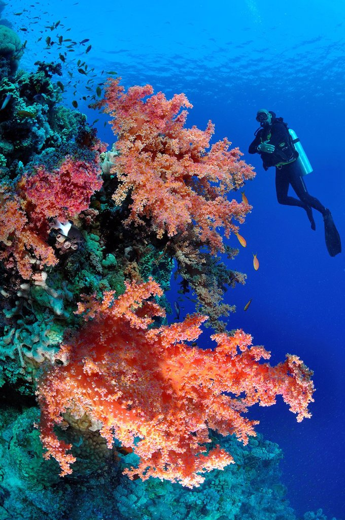 Egypt, Red sea, alcyonarian soft corals Dendronephthya sp. and a diver : Stock Photo