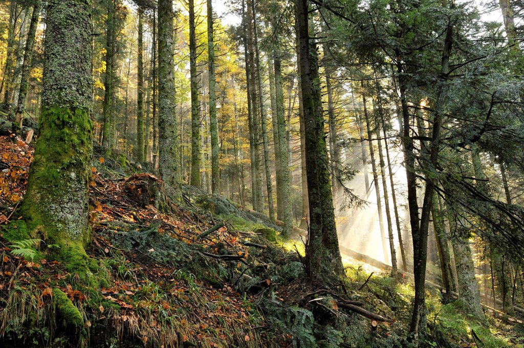 Stock Photo: 1792-134046 France, Vosges, above La Bresse, Collet Mine, forest, beech and fir forest, mist and sunlight through the trees, autumn morning