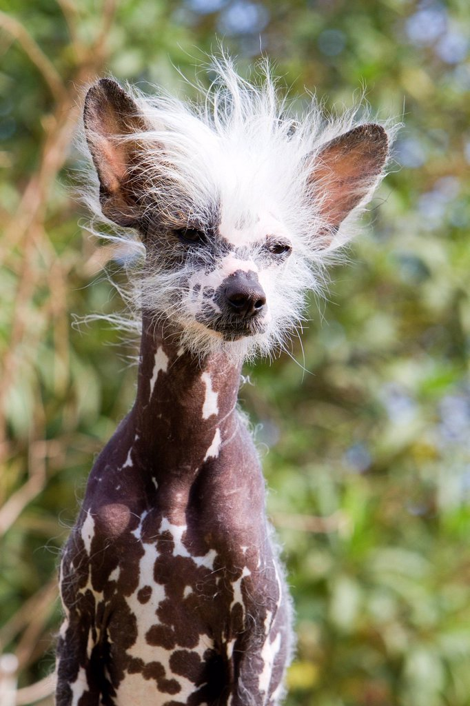 Stock Photo: 1792-138251 France, Bouches du Rhone, Chinese Crested Dog, Chinese Hairless Dog
