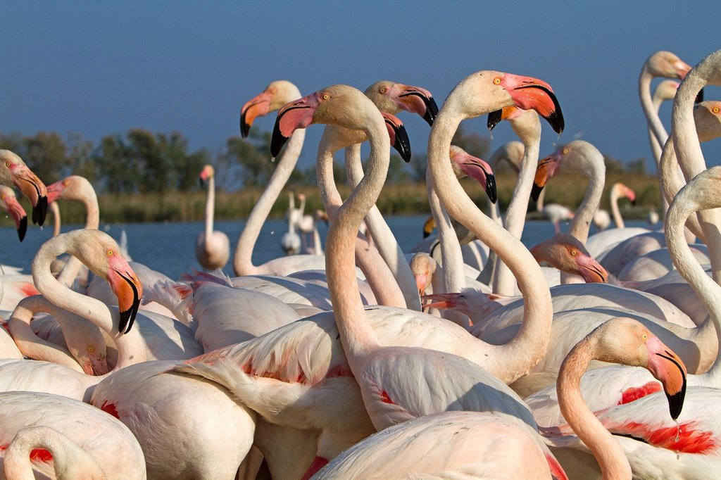 France, Bouches du Rhone, Parc Naturel Regional de Camargue Natural Regional Park of Camargue, listed as a Reserve de Biosphere by UNESCO, Ornithological Park of Pont de Gau, flamingo Phoenicopterus ruber : Stock Photo