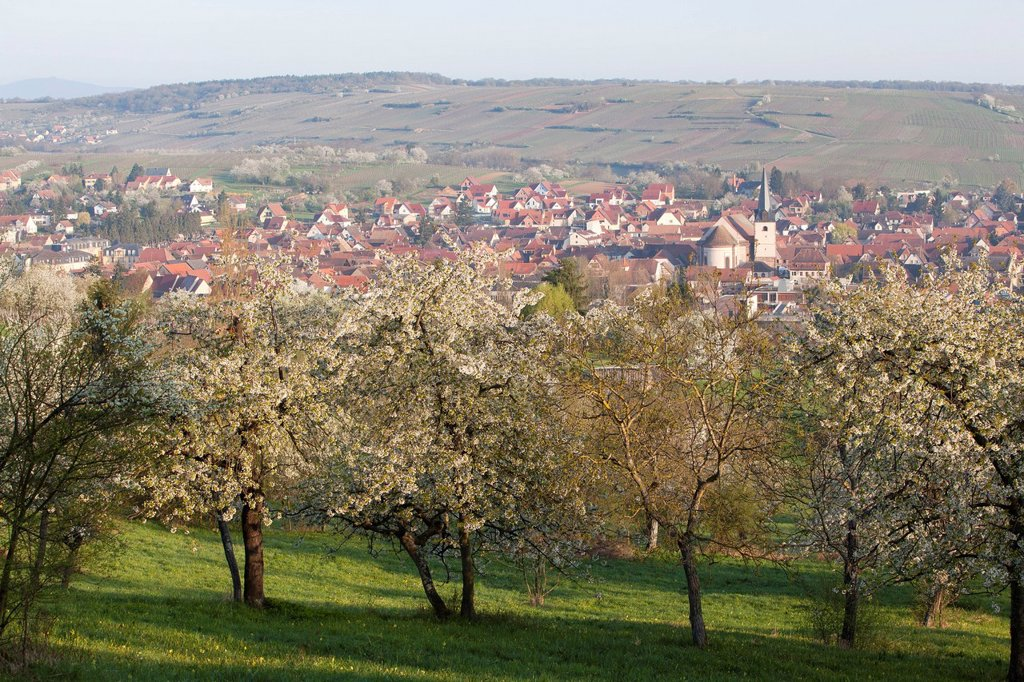 France, Bas Rhin, Rosheim, orchard : Stock Photo