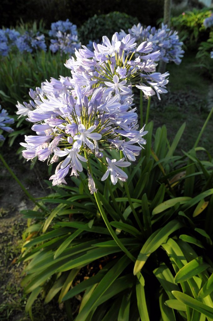 Stock Photo: 1792-140183 France, Cotes d´Armor, Brehat island flower of Agapanthus Agapanthus Navy Blue