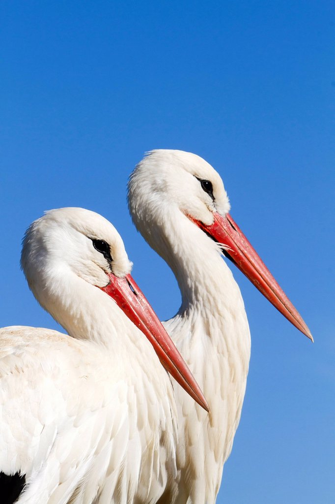 Stock Photo: 1792-141692 France, Haut Rhin, Hunawihr, centre de rintroduction des cigognes, White Stork Ciconia ciconia, couple