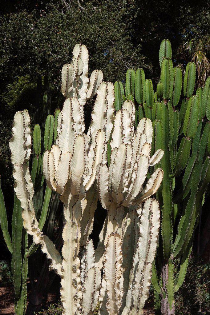 Stock Photo: 1792-141867 United States, California, Santa Barbara, Montecito, Ganna Walska Lotusland, the Cactus garden