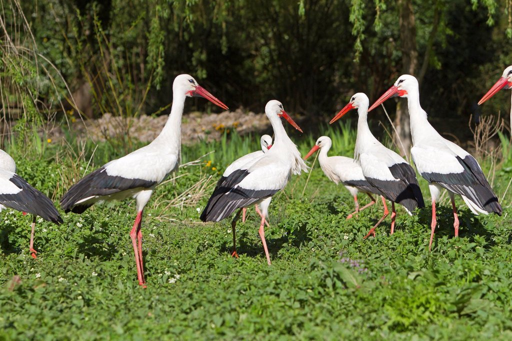 France, Haut Rhin, Hunawihr, centre de rintroduction des cigognes, White Stork Ciconia ciconia : Stock Photo