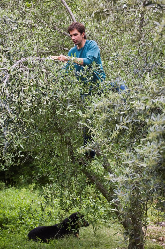 Stock Photo: 1792-143307 France, Alpes Maritimes, Sospel, Frederic Soffiotti its olive grower size