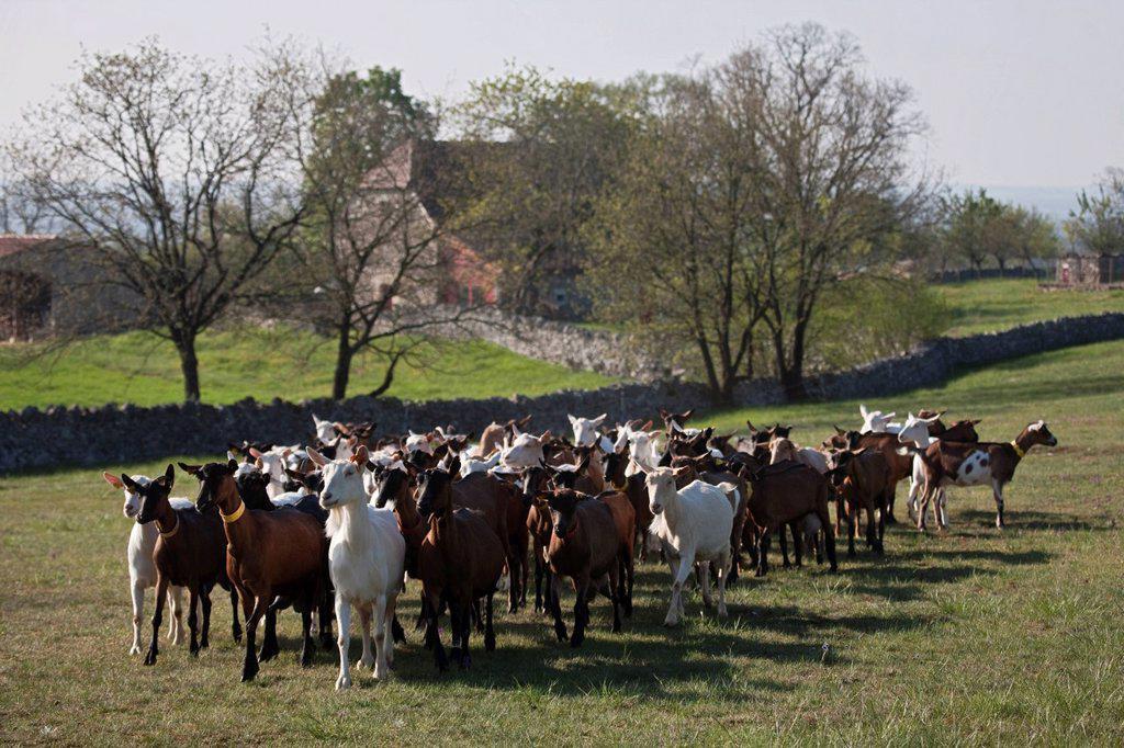 Stock Photo: 1792-143792 France, Lot, Rocamadour, the flock of goats Marc Villard breeder farm of Borie d´Imbert producing goat cheese Rocamadour AOC