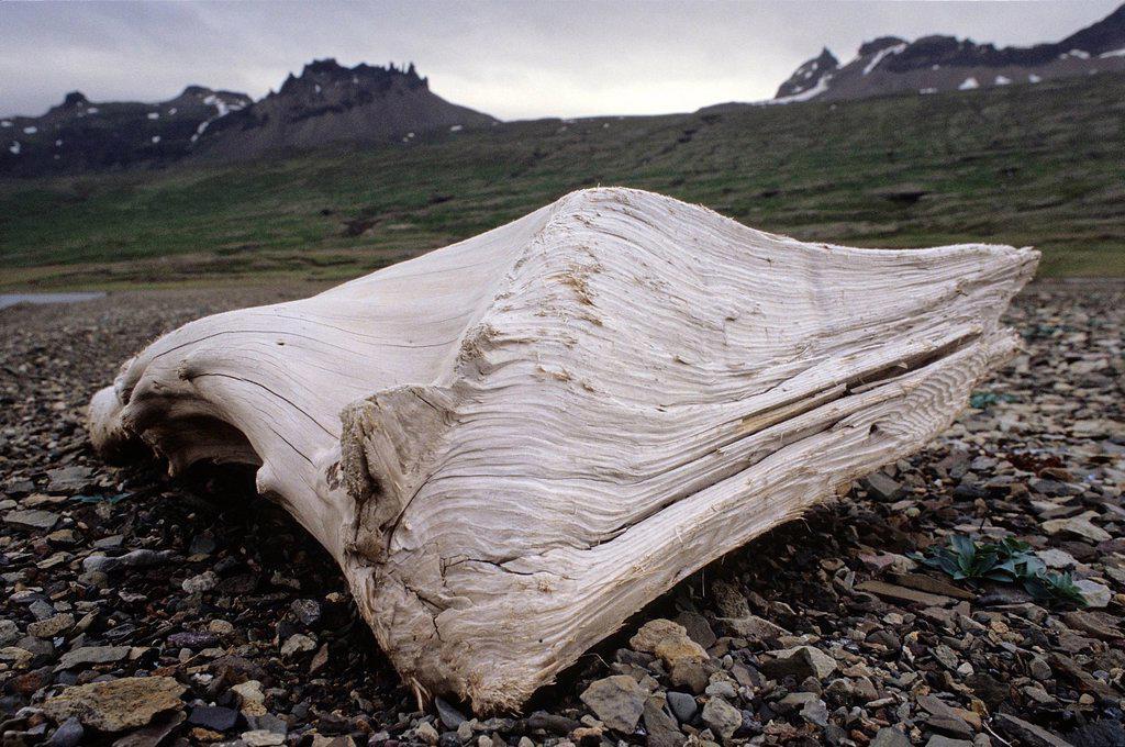 Iceland, Austurland Region, driftwood : Stock Photo