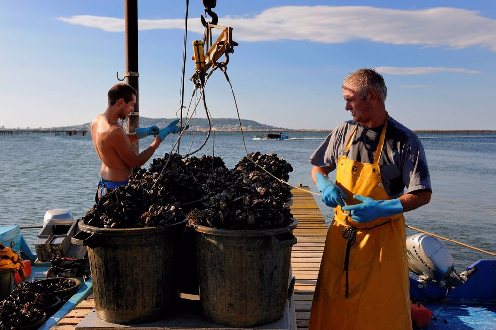 France, Herault, Bouzigues, Bassin de Thau, oyster and mussels farm from the Benezech family at the Place called La Catonniere facing Mont Saint Clair, unloading mussels : Stock Photo
