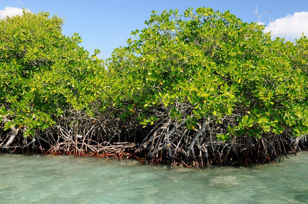 Dominican Republic, Santo Domingo province, Boca Chica, mangrove and mangrove roots in the Caribbean Sea : Stock Photo