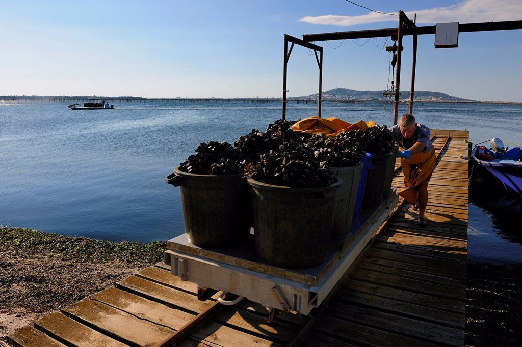 Stock Photo: 1792-153144 France, Herault, Bouzigues, Bassin de Thau, oyster and mussels farm from the Benezech family at the Place called La Catonniere facing Mont Saint Clair, unloading mussels