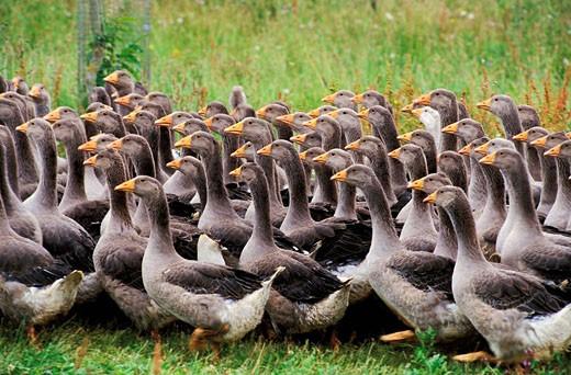 France, Dordogne, farm near Badefols village, goose breeding for the foie gras : Stock Photo