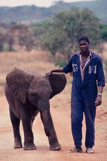Zimbabwe, Mashonaland Est province, elephant survivor of a Culling Game Ranching : Stock Photo