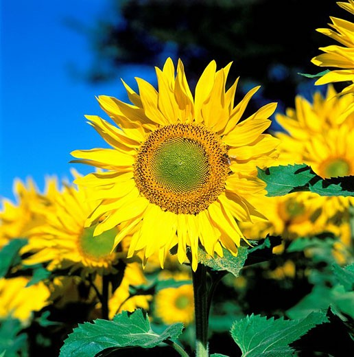 Stock Photo: 1792-37153 France, sunflower field