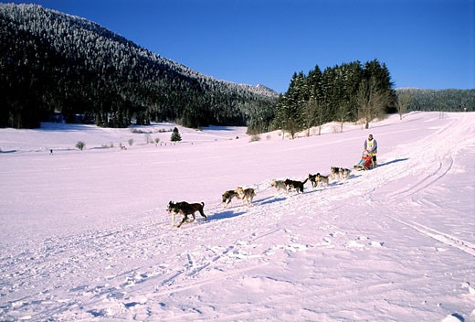France, Isere, Alpirod, sled dogs race in the Vercors natural regional park : Stock Photo