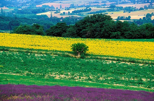 France, Vaucluse, sunflowers and lavender cultivation in the Luberon Natural Regional Park : Stock Photo