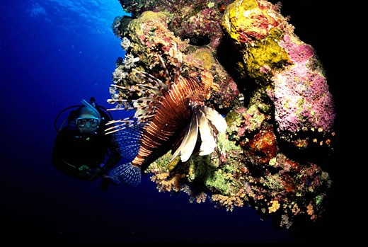 Stock Photo: 1792-39512 Egypt, Suez, Red Sea, Scorpion fish