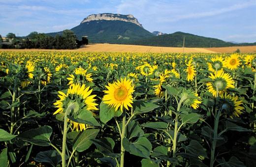 France, Drôme (26), sunflower field : Stock Photo