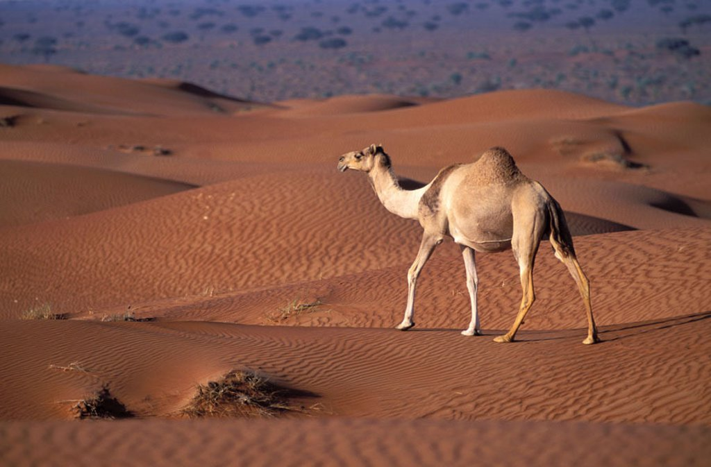 United Arab Emirates, Dubai, excursion in the desert, camel, dromedary : Stock Photo