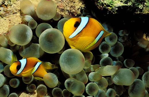 Egypt, Suez, Clown fish in their anemon in the Red Sea : Stock Photo