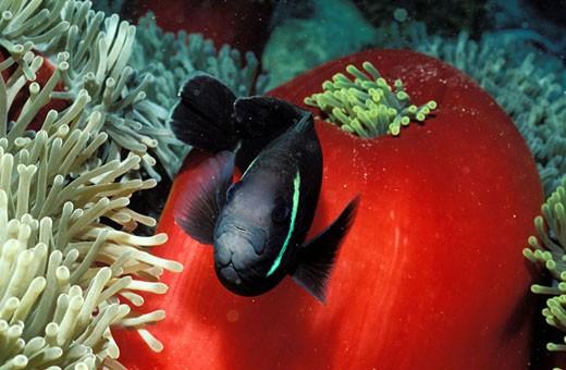 Mauritius Island, sea anemone and clown fish (Blue bay) : Stock Photo