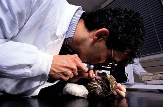France, Haute-Garonne (31), research and rehabilitation centre of the wild fauna, a veterinary examines a wounded buzzard : Stock Photo