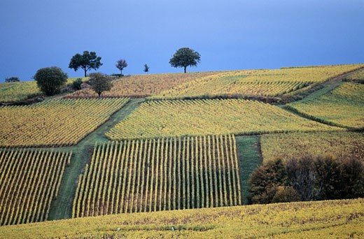 France, Saône-et-Loire (71), Chalon region South of Buxy, vineyard, autumn : Stock Photo