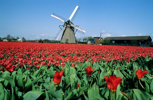 Netherlands, windmill and field of tulips : Stock Photo