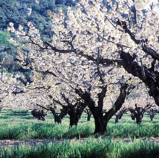 France, Drôme (26), cherry trees in Rhône valley : Stock Photo