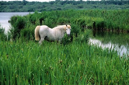 Stock Photo: 1792-55460 France, Eure (27), horse in Vernier marsh