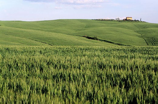 Stock Photo: 1792-59103 Italy, Tuscany, corn fields in the Orcia Valley