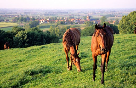 Stock Photo: 1792-59908 France, Nord (59), horses on Mont des Cats and Berthen village at the bottom