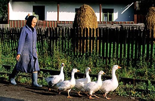 Romania, Bukovina region, a farmer with her gooses : Stock Photo