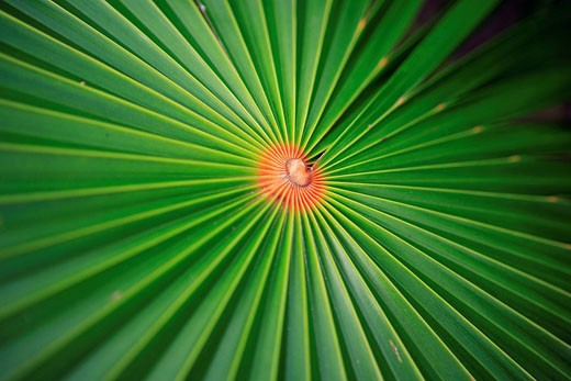Stock Photo: 1792-66877 France, Martinique French West Indies, palm tree