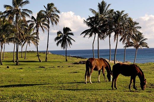 Chile, Easter Island, on the north shore, Anakena, palmtrees on the beach : Stock Photo