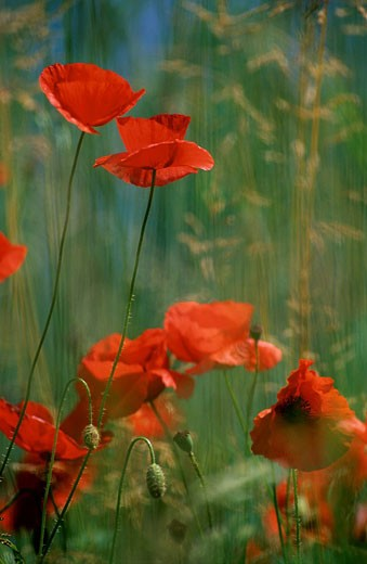 France, poppies : Stock Photo